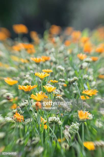 Germany, Pot marigold, Calendula