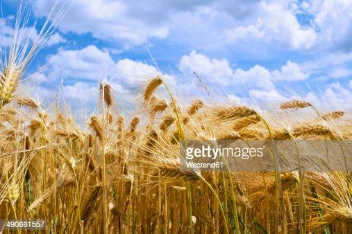 Germany, Rhineland-Palatinate, Barley (Hordeum vulgare), barley field, ears