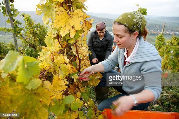 Germany RhinelandPalatinate BernkastelLieser harvesting organic wine at Mosel river