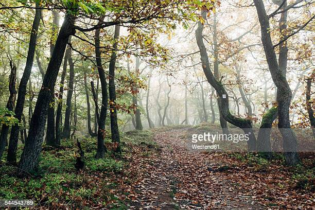 Germany, Rhineland-Palatinate, Boppard-Weiler, autumnal forest in the fog