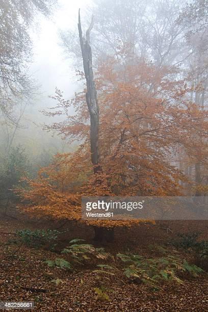 Germany, Rhineland-Palatinate, Eifel, woodland at late autumn