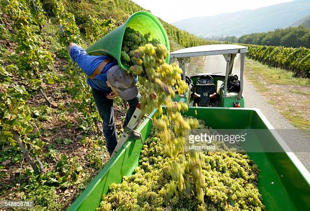Germany RhinelandPalatinate Nehren harvesting wine near the Mosel river