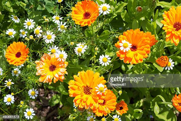 Germany, Rhineland-Palatinate, Pot Marigold (Calendula officinalis) and Chamomile (Matricaria chamomilla)