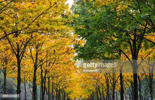 Germany, Saxony, avenue in autumn