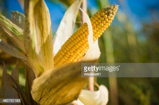 Germany, Saxony, Fresh corn cob on tree