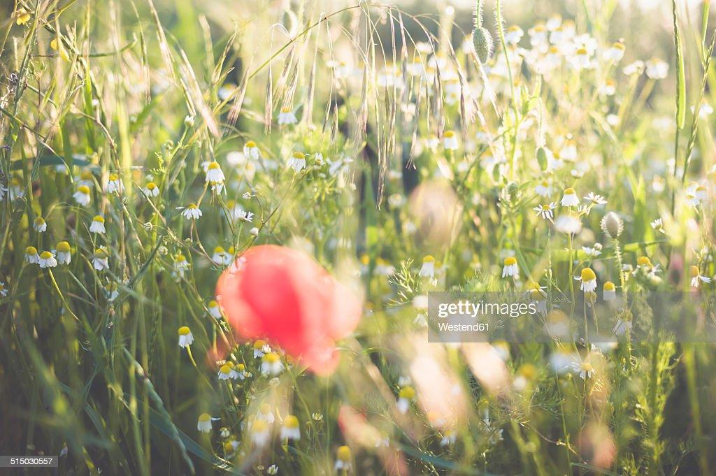 Germany, Saxony, Poppy flower, Papaver rhoeas, Chamomile, Matricaria, Matricaria L., and Oat, Avena sativa