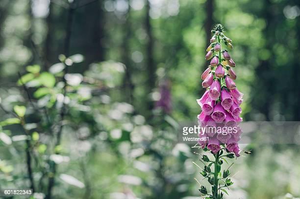 Germany, Saxony, Purple Foxglove