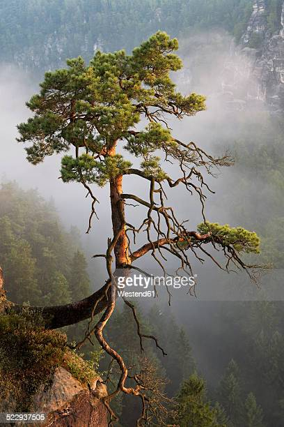 Germany, Saxony, single tree on slope at Elbe Sandstone Mountains