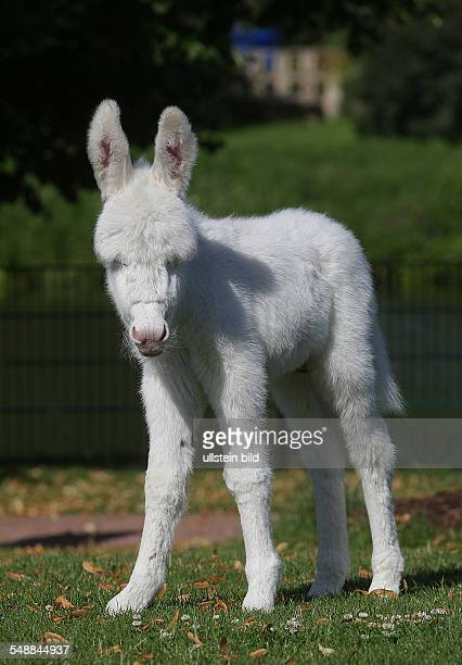Germany SaxonyAnhalt Bitterfeld vivarium Greppin white donkey born on