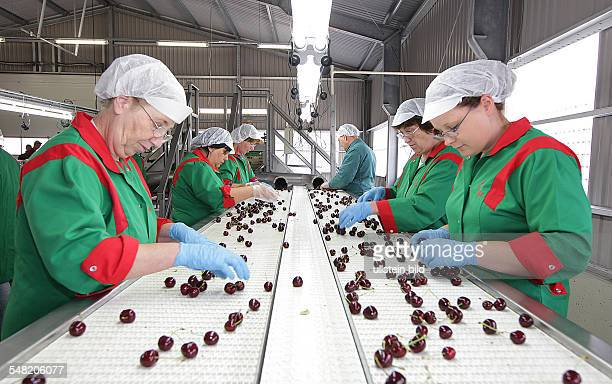 Germany SaxonyAnhalt Saale Obst grower and marketing cooperative in Schochwitz employees sorting cherries for export