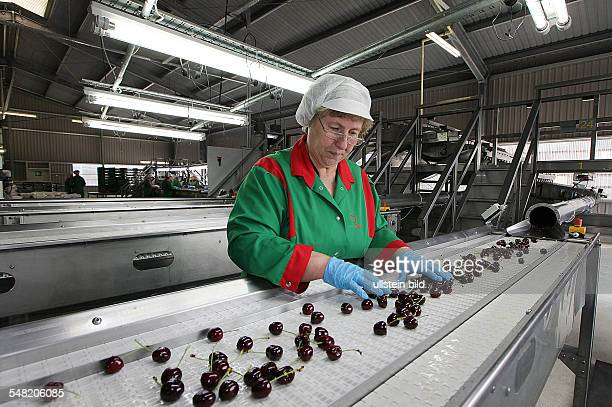Germany SaxonyAnhalt Saale Obst grower and marketing cooperative in Schochwitz employee is sorting cherries for export