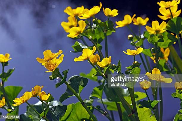 Germany SchleswigHolstein flowering Kingcup Marsh Marigold