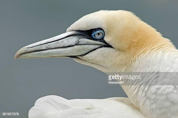 Germany, Schleswig-Holstein, Hegoland, northern gannet