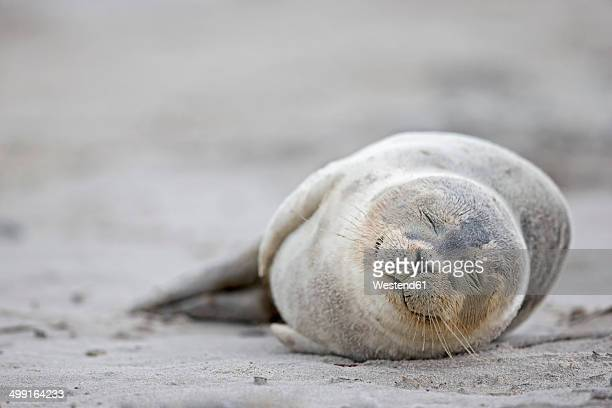 Germany, Schleswig-Holstein, Helgoland, Duene Island, harbour seal pup (Phoca vitulina) sleeping on the beach