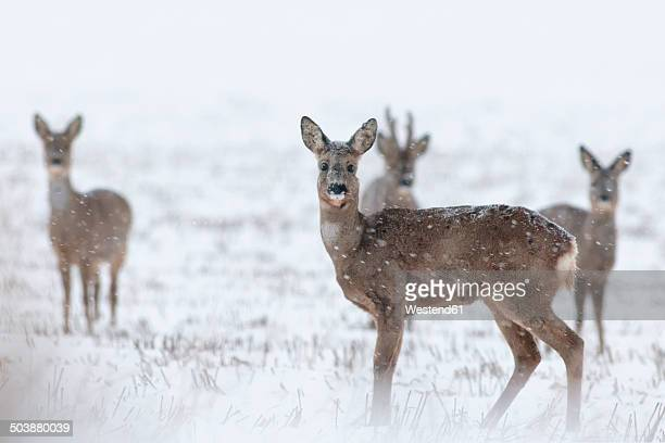 Germany, Schleswig-Holstein, Roe deer in snow