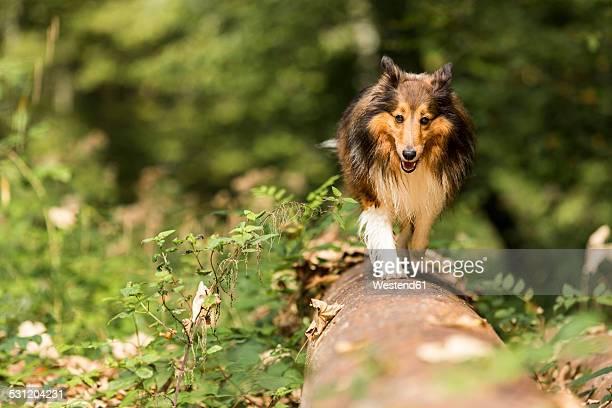 Germany, Shetland Sheepdog walking over tree trunk