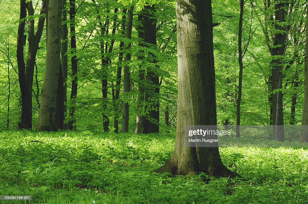 Germany, Thuringia, Hainich National Park, beech forest (Fagus sp.) : Stock Photo