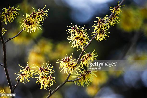 Germany, witch hazel in winter