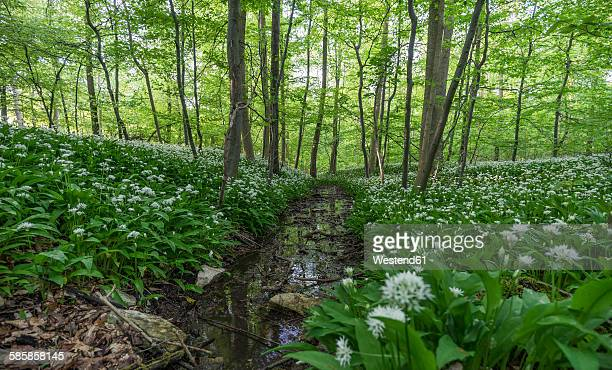 Germany, Wolfenbuettel, blossoming ramson at Elm Nature Park