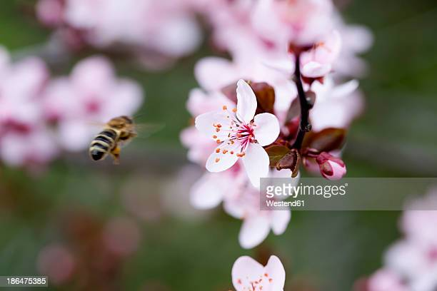 Germany, Wuerzburg, Honey bee flying