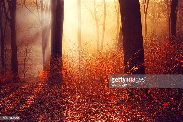 Germany, Wuppertal, forest in the morning in autumn against the sun