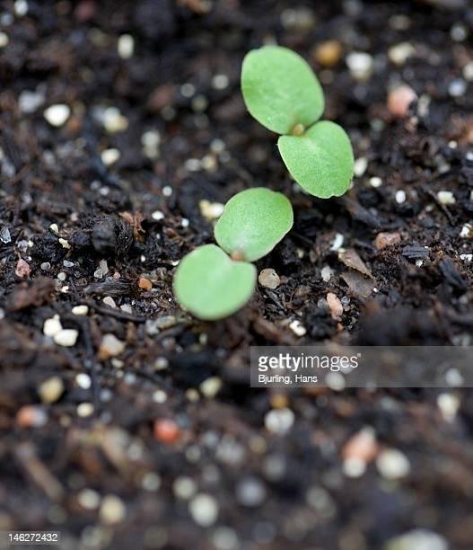 Germinating seedlings