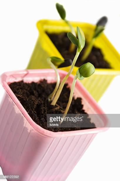 germinating sunflower seeds