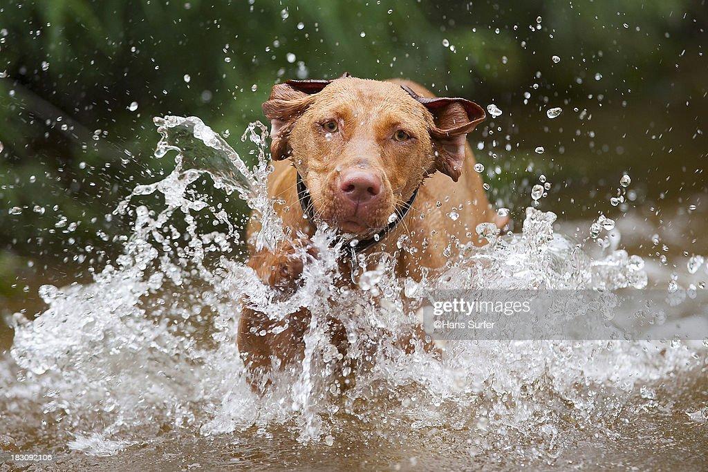 Getting wet...Vizsla (Hungaria Gundog)!