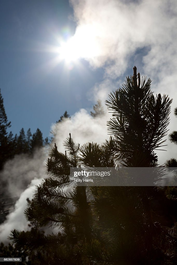 Geyser steam and pine trees