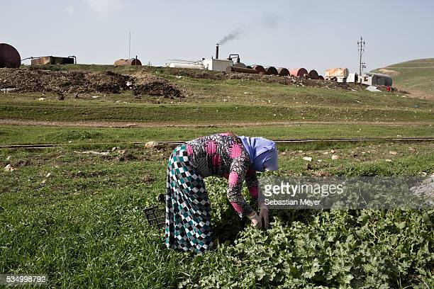 Ghazal picks green leaves for cooking Ghazal a Yezidi woman from Sinjar lives with her displaced family next to an oil refinery in the Kurdish Region...