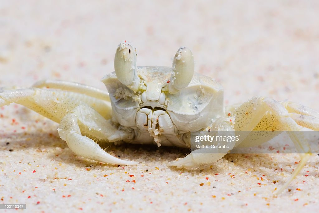 Ghost crab close up : Stock Photo