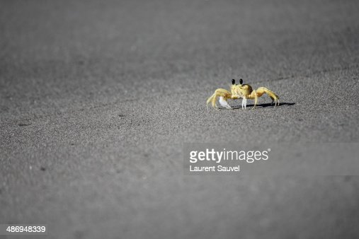 Ghost crab on a black sand beach, Martinique