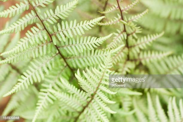Ghost Fern Plants