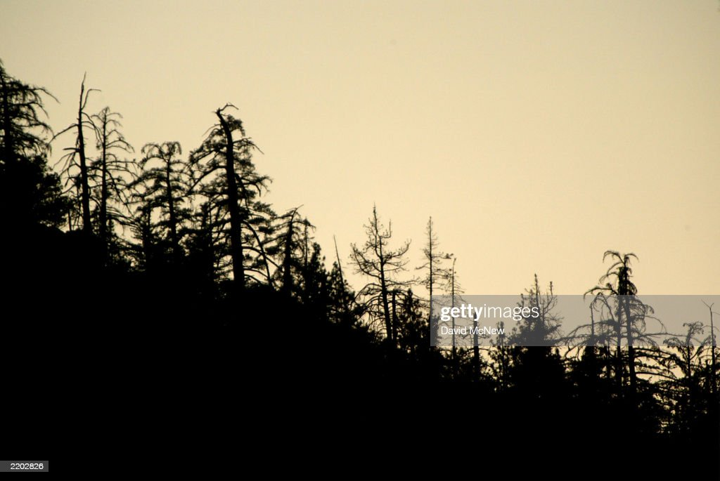 A 'ghost forest' of dead and dying trees is silhouetted on a ridge after sunset July 23 2003 in Idyllwild California Southern California's native...