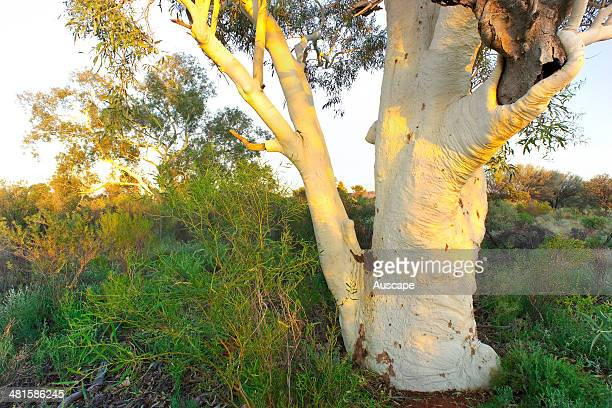 Ghost gum Corymbia aparrerinja in the softer woodland on alluvials Newhaven Wildlife Sanctuary near the Tanami Desert Central Australia Northern...