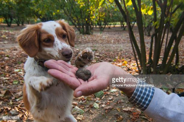 Gianni Monchiero president of the University of truffle dogs in Roddi lets his dog smell a truffle to train them on October 17 2017 in the Barolo...