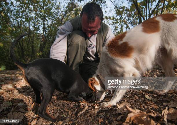 Gianni Monchiero president of the University of truffle dogs in Roddi looks at his dogs while they dig to extract a truffle on October 17 2017 in the...