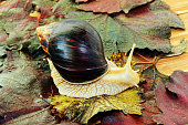 Giant african Achatina snail on colorful autumn grape leaf taken closeup.