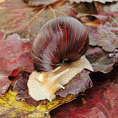 Giant african Achatina snail on grape leaves taken closeup.