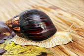 Giant african Achatina snail on wooden background with grape leaf taken closeup.