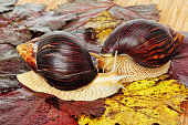 Pair of Giant african Achatina snails on grape leaves taken closeup.