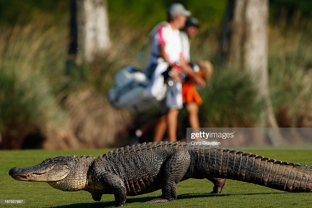 A giant alligator sits on the 14th fairway during the first round of the Zurich Classic at TPC Louisiana on April 25, 2013 in Avondale, Louisiana.