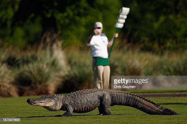 A giant alligator sits on the 14th fairway during the first round of the Zurich Classic at TPC Louisiana on April 25 2013 in Avondale Louisiana
