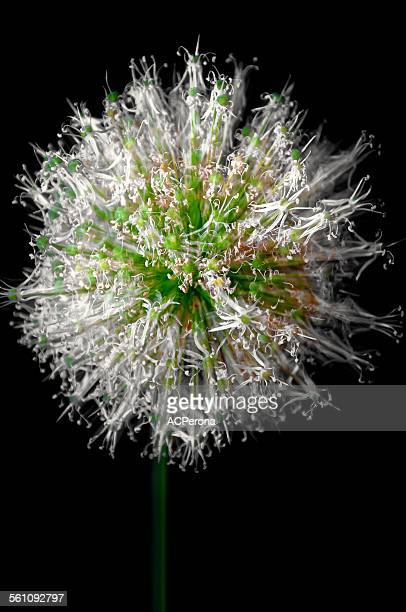Giant Allium burst