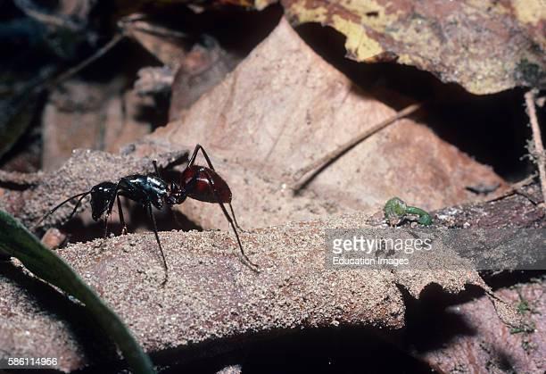 Giant ant Gunung Leuser Sumatra Indonesia Formicidae