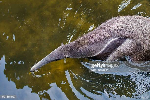 Giant anteater in water