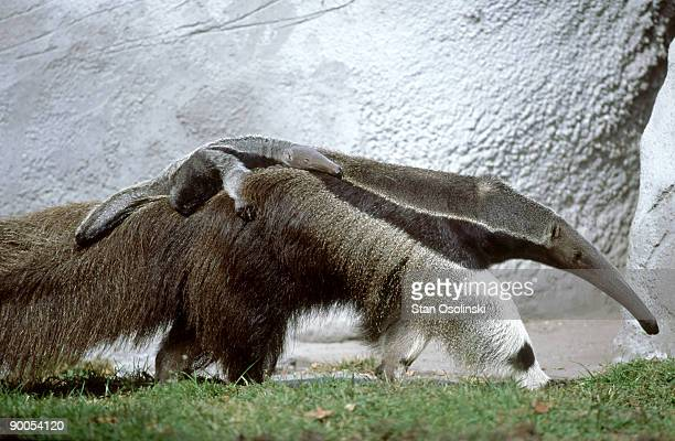 giant anteater: myrmecophaga jubata  carrying baby on back   zoo animal