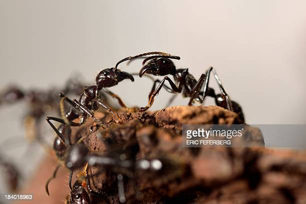 Giant ants are pictured at the 'Palais de la Decouverte' on October 10 2013 in Paris The exhibition 'Mille milliards de fourmis' will run from...