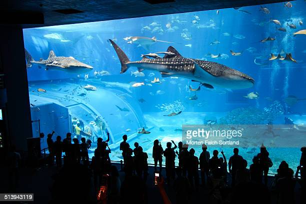 Giant aquarium tank filled with hundreds of fish stingrays sharks and two large whale sharks on Okinawa Japan