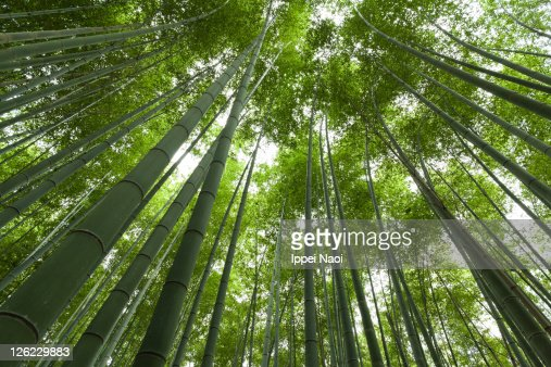 Giant bamboo canopy, Kyoto, Japan